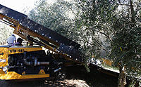 Innovative Mechanical Table Olive Harvesting in California
