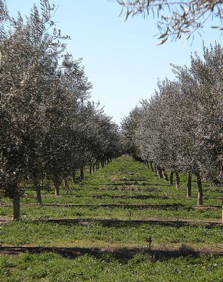 Australia: Hobby olive farms in vogue with record oil