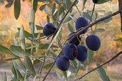 black-olives-on-tree