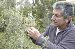 sam-cremona-olives-tree-malta