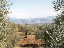 olive%20groves.jpg