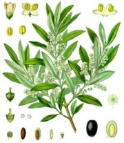 Olives 19th century illustration