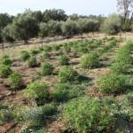 Marijuana_Olives_Orchad