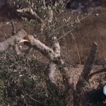 Palestinian_Olive_Tree_destroyed