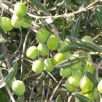 olives-400