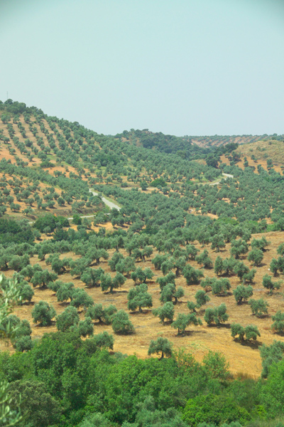 olives crop